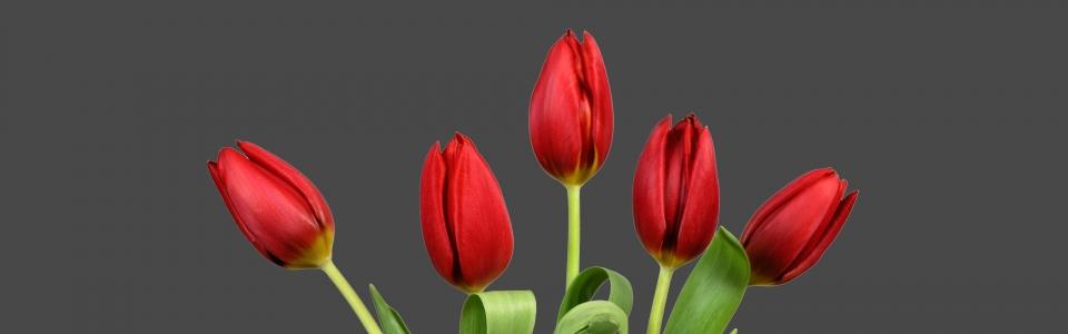 tulpen_groot_zwart_hoog